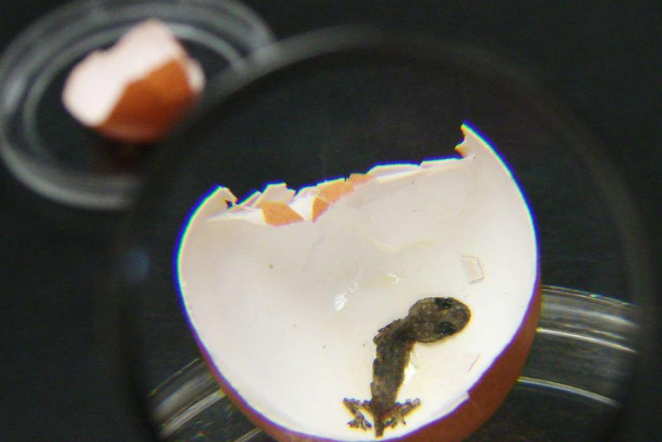 Как обнаружить сальмонеллез в куриных яйцах?